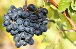 「サンソー 葡萄」の画像検索結果
